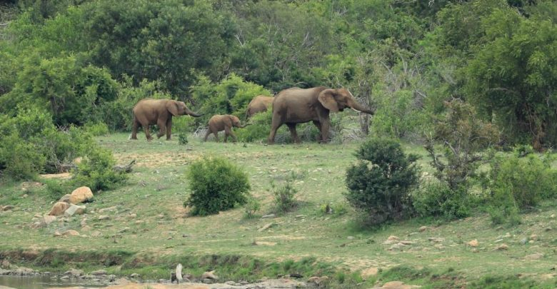 Rhino Poacher Killed by Elephant and Eaten by Lions