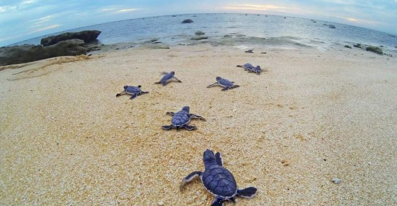 Qatar committed to protecting endangered species of turtles