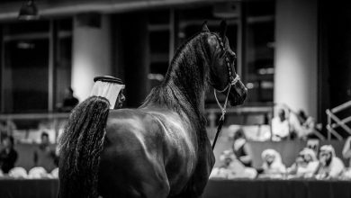 AlShaqab's Arabian beauty horses in Menton, France