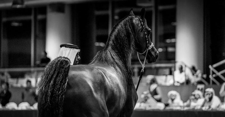 AlShaqab's Arabian beauty horses in Menton, France