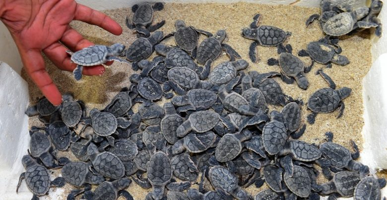 MME organizes an awareness campaign for turtle hatchery season
