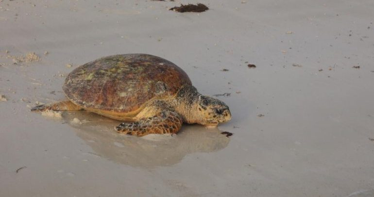 Ministry to reopen Fuwairit Beach from August 1 as turtle nesting season ends