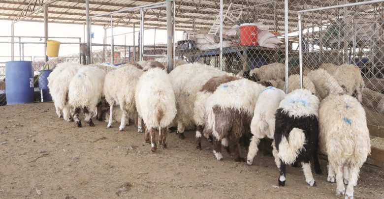 Sale of subsidised sheep for Eid Al Adha starts on Sunday