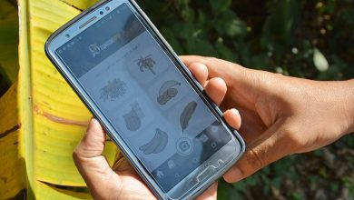 AI mobile app to tackle banana disease and pest outbreaks