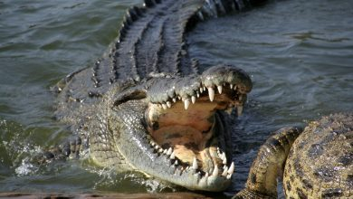 Photo of Little girl wrestles large crocodile and gouges its eyes to rescue friend