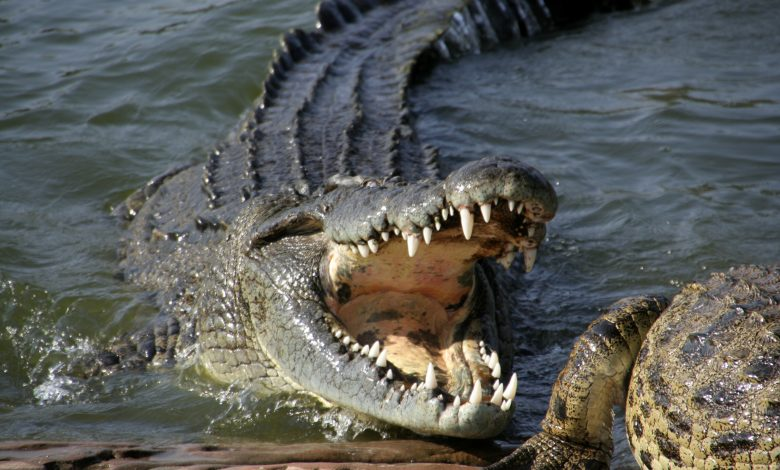 Little girl wrestles large crocodile and gouges its eyes to rescue friend