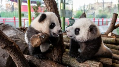 Photo of Slipping and sliding, first Germany-born panda cubs greet outside world