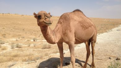 Photo of MME calls on farm owners to adhere to camel grazing ban