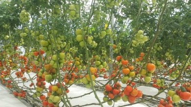Photo of Hydroponic Center yields astonishing produce of tomatoes per square metre annually