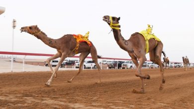 Photo of Annual festival of Purebred Arabian Camel 2019-20 season cancelled