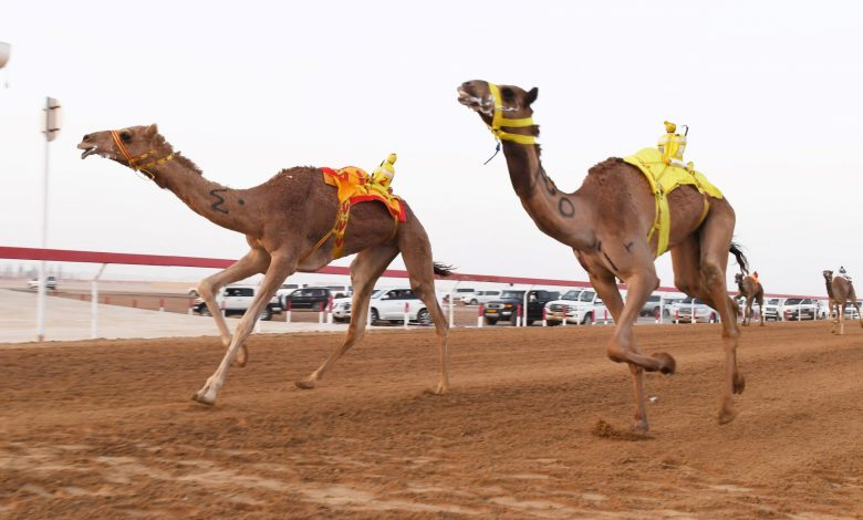 Annual festival of Purebred Arabian Camel 2019-20 season cancelled