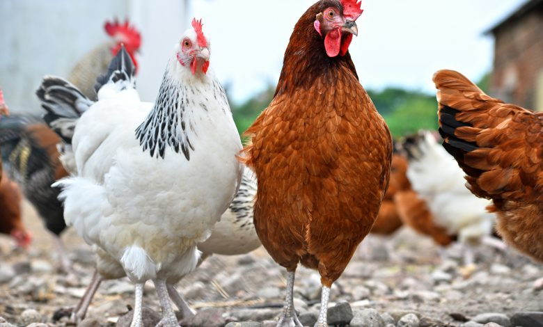 Ministry vaccinates 813,000 poultry against Newcastle disease