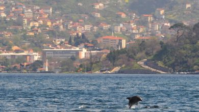 Photo of Dolphins reclaim Bosphorus in Istanbul
