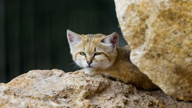 Photo of Endangered Arabian wildcat gives birth at Al Khor zoo