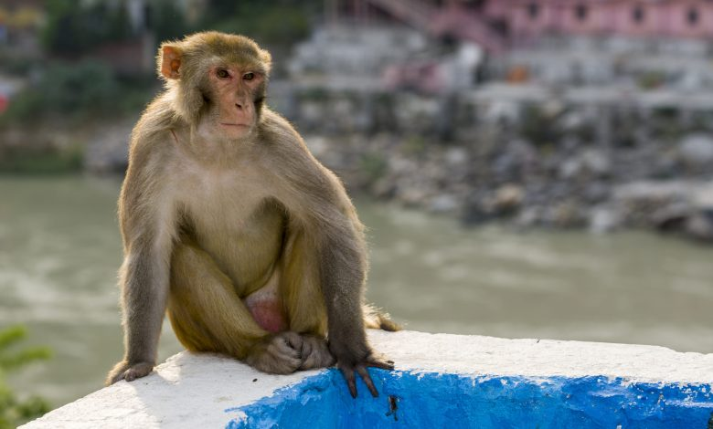 Monkeys infected with COVID-19 develop antibodies, a positive sign for vaccines