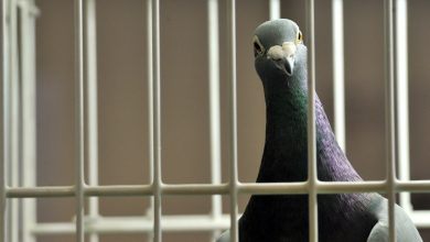 Photo of Pigeon arrested for espionage!