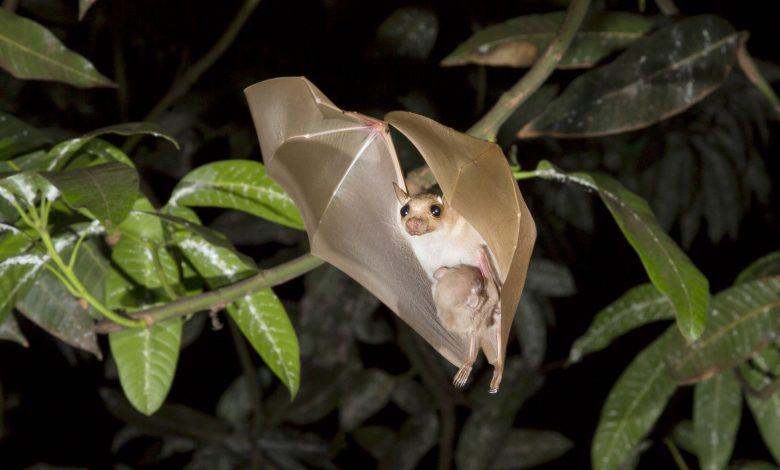 7 strains of coronavirus found in bats in Africa
