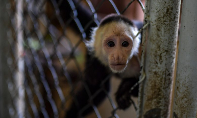 Life imprisonment for an alcoholic monkey