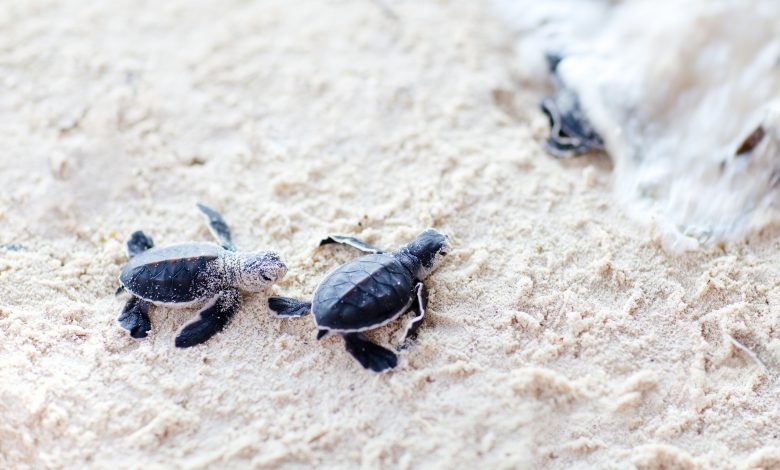 First case of endangered sea turtles hatching recorded