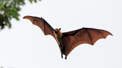 Photo of Bats appear in Kuwait.. Environment Public Authority comments