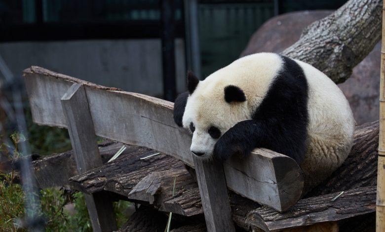 Panda escapes confinement in Copenhagen zoo