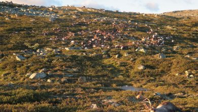Photo of 'Landscape of fear': what a mass of rotting reindeer carcasses taught scientists