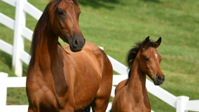 Photo of WCM-Q research helps shed light on genetic heritage of Arabian Horse