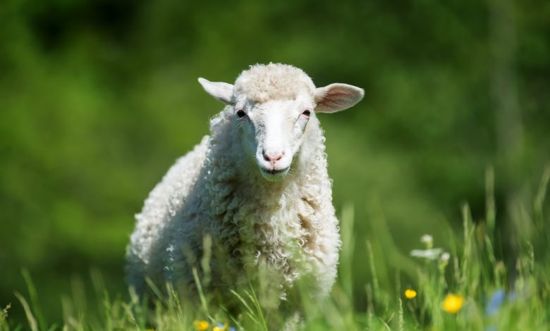 Widam starts selling coupons for sacrificial animals