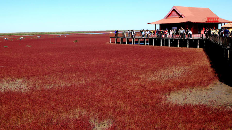 """Red Beach"" in China .. ""Unusual"" romance on crimson flats"