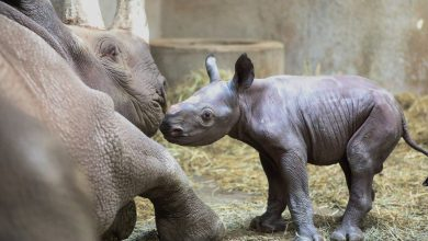 Photo of Birth of two rhinos of endangered species