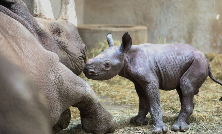 Birth of two rhinos of endangered species