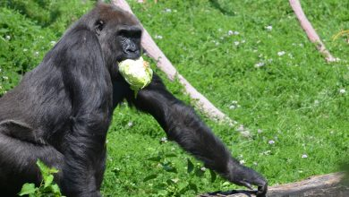 "Photo of ""Gorilla"" attacks his zookeeper at the Madrid Zoo"
