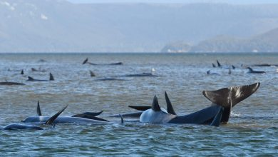 Photo of Attempts to rescue 70 whales stranded in Tasmania Bay, South Australia
