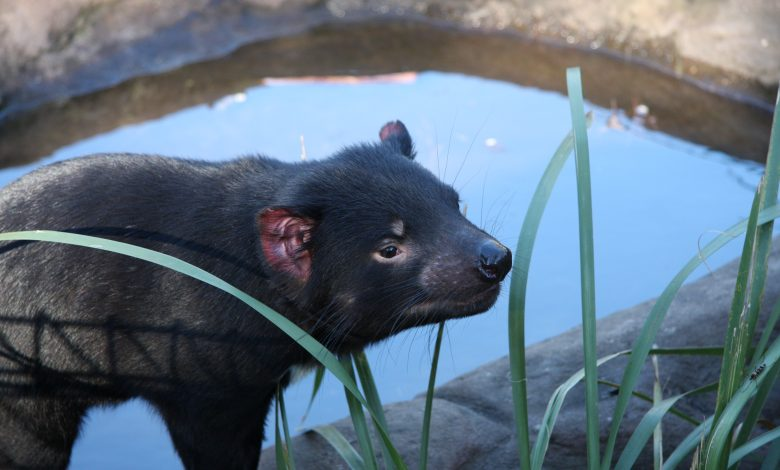Tasmanian animals return to Australia 3,000 years later
