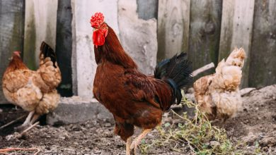 Photo of Rooster Arrested for killing a Policeman in Philippines