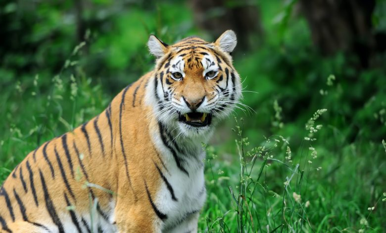 India hunts tiger that killed 8 people in two years