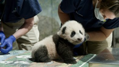 Photo of Little Miracle Panda was born in Washington