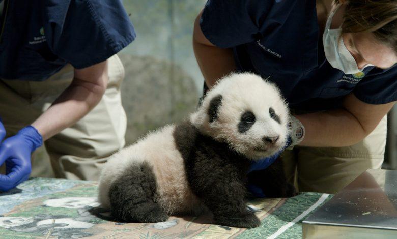 Little Miracle Panda was born in Washington