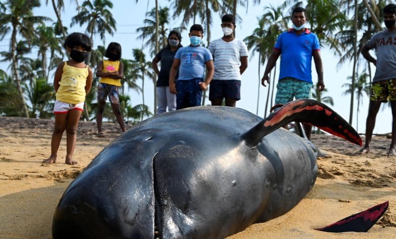Sri Lanka rescues 120 whales after mass stranding