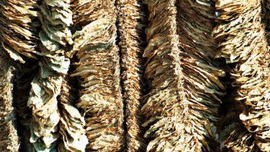 Customs foils smuggling of huge quantity of 'tambaku'