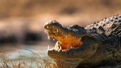 Dinosaur-like crocodile terrorize Americans in Florida