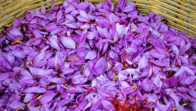 Photo of Qatar farm starts harvesting saffron for first time