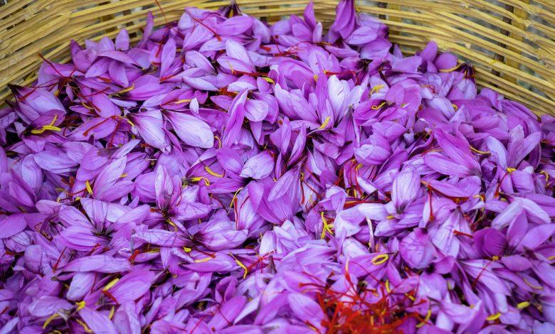 Qatar farm starts harvesting saffron for first time
