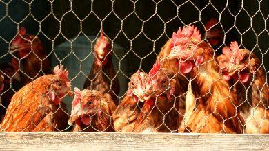 South Korea culls 9.6 million birds due to a new case of highly contagious bird flu
