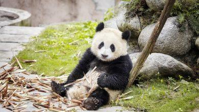 Qatar to get Arab world's first Panda habitat