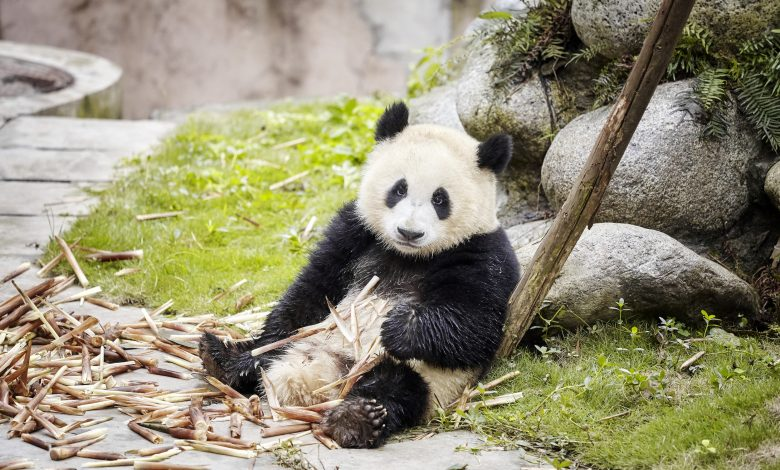 Qatar to get Arab world's first Panda habitat