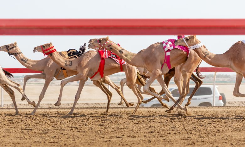 Father Amir Camel Racing Festival Continues with Strong Competitions
