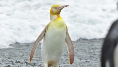 'Never seen before' yellow penguin spotted in South Atlantic