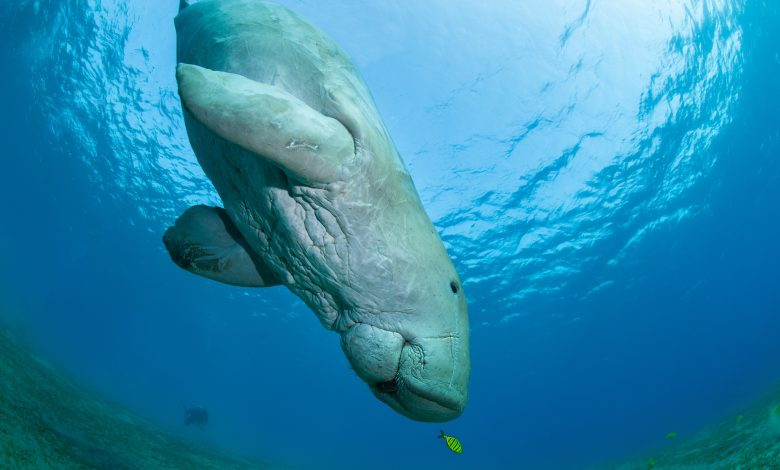 NMoQ Partners with Research Entities to Support Study of Dugong