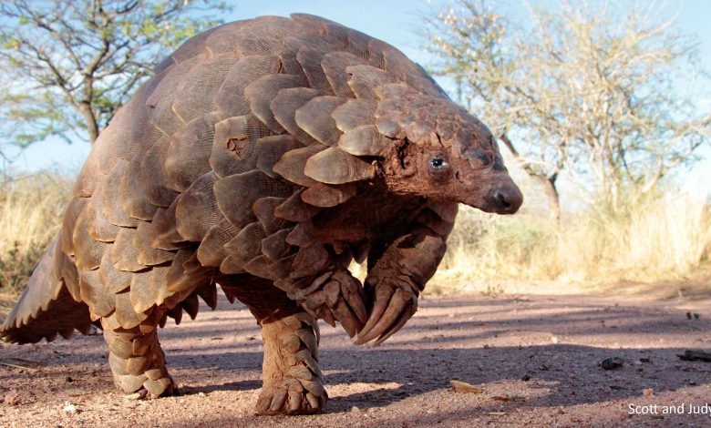 'Pangolin' among possible sources of Coronavirus spread: WHO